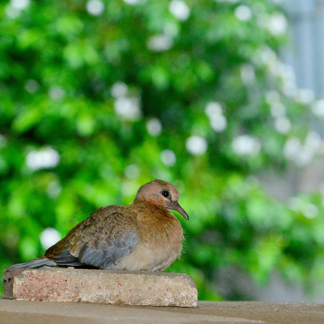 """Laughing Dove taking shelter from the rain."" stock image"