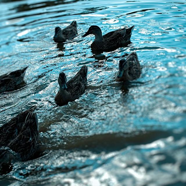 """Ducks Swimming in a Pond - Jul 2015"" stock image"