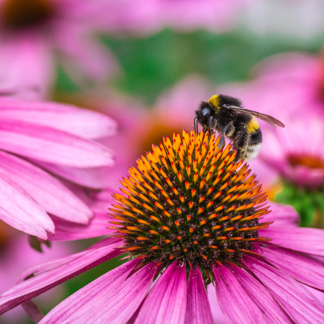 """""""Pink ehinacea flower with bumble bee feeding on it."""" stock image"""