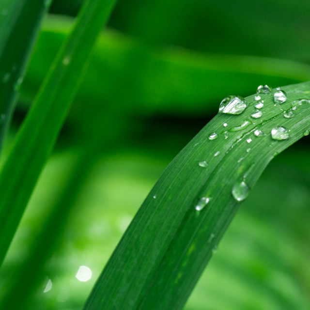 """Rain drops on green grass"" stock image"