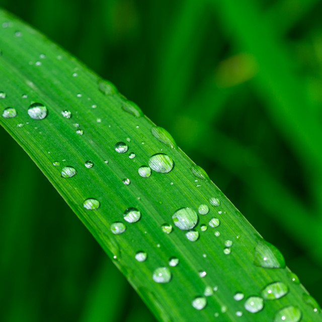"""Rain dew drops on green grass"" stock image"