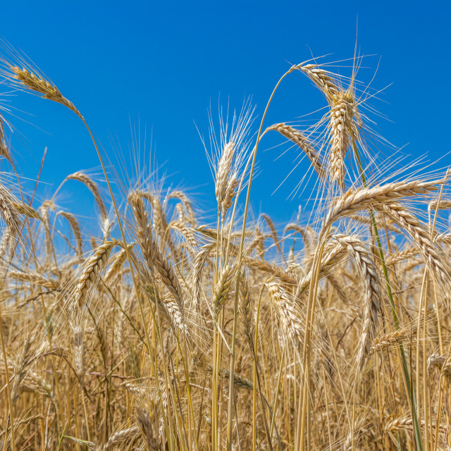 """""""Wheat field with summer blue sky."""" stock image"""