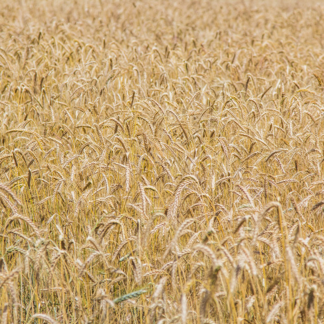 """""""Wheat field in the summer time."""" stock image"""