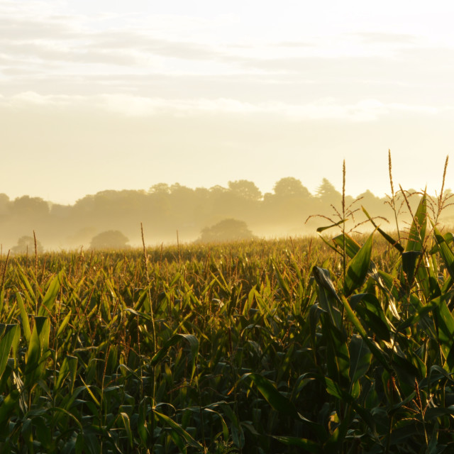 """Cornfield at Sunrise"" stock image"