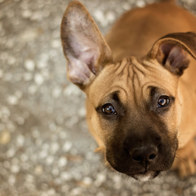 """Young American Staffordshire terrier"" stock image"