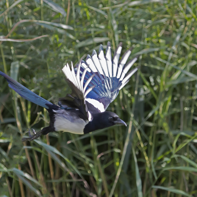 """Magpie in Flight."" stock image"
