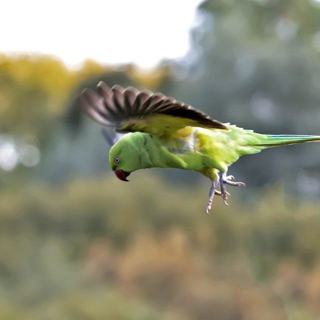 """Ring Necked Parakeet in Flight."" stock image"