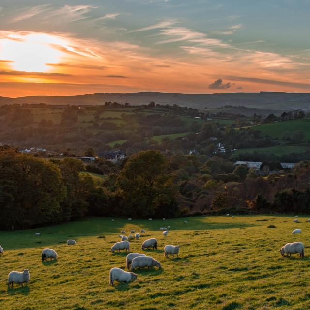 """Sheep grazing at sunset."" stock image"