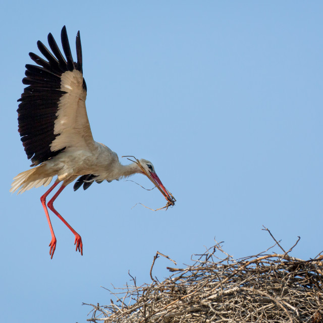 """White Stork topping up the nest"" stock image"