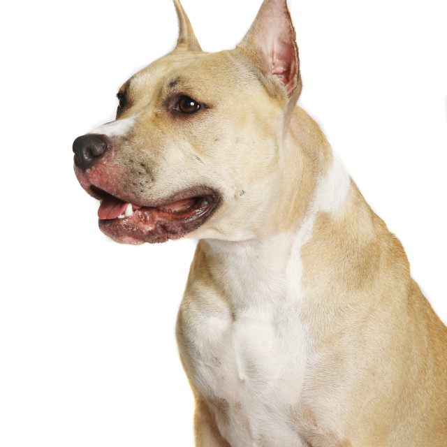 """""""American Staffordshire terrier of a white"""" stock image"""