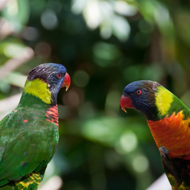 """Two lovebirds (Lorikeets)"" stock image"