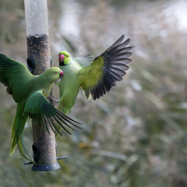 """Parakeets on Feeder."" stock image"