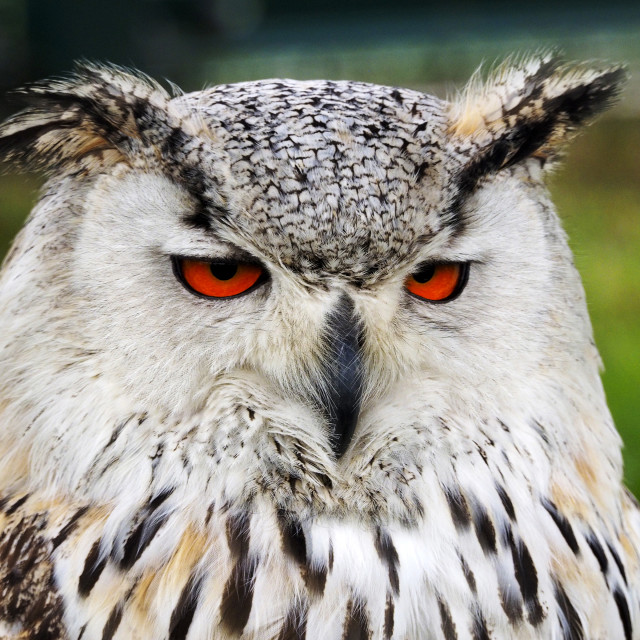 """Eagle Owl 1"" stock image"