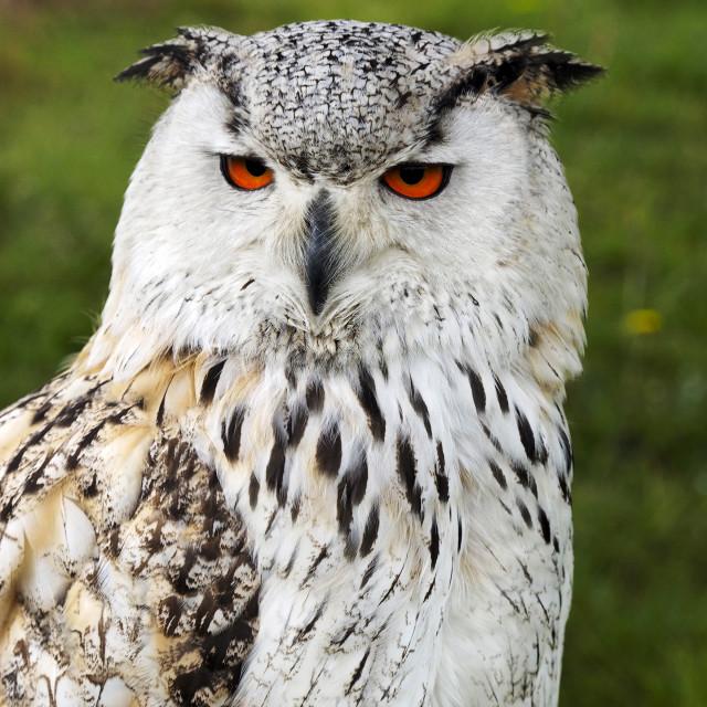 """""""Eagle Owl 2"""" stock image"""