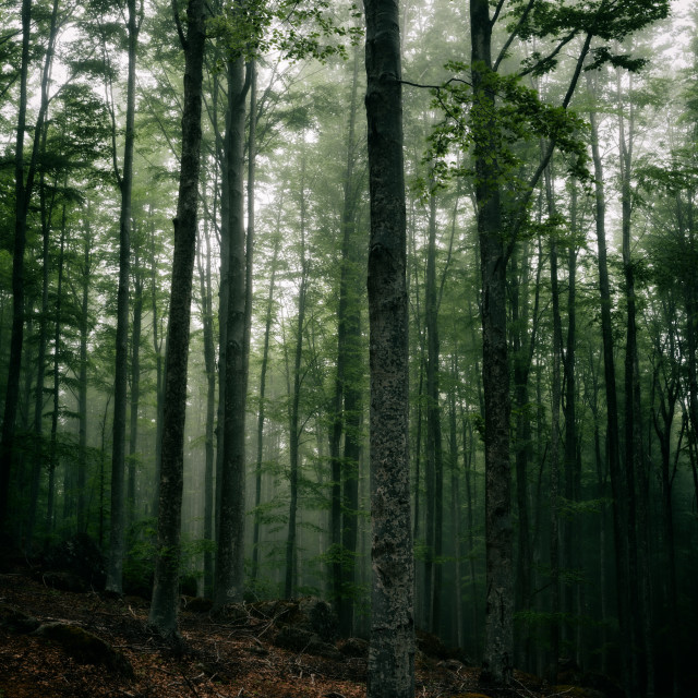 """Mysterious dark forest in fog"" stock image"