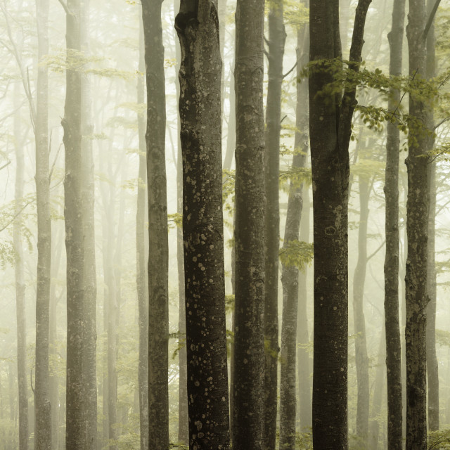"""Fog in the forest"" stock image"