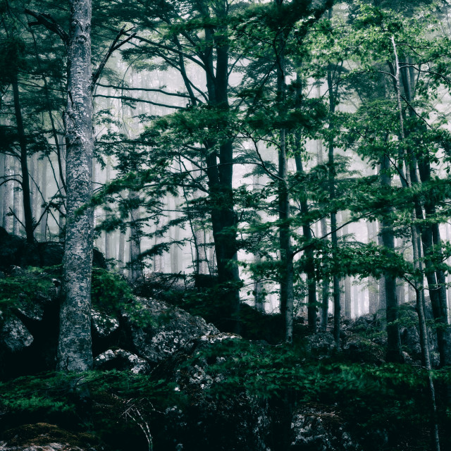 """Foggy dark forest"" stock image"