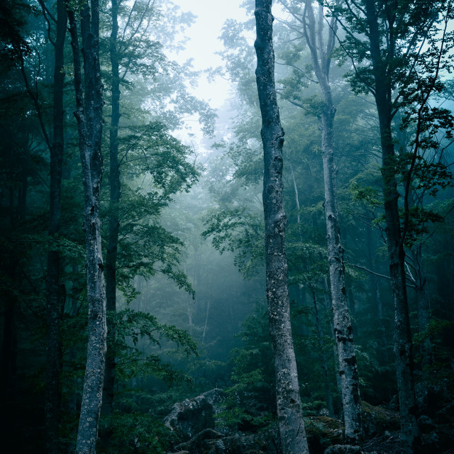 """Dark forest with fog"" stock image"