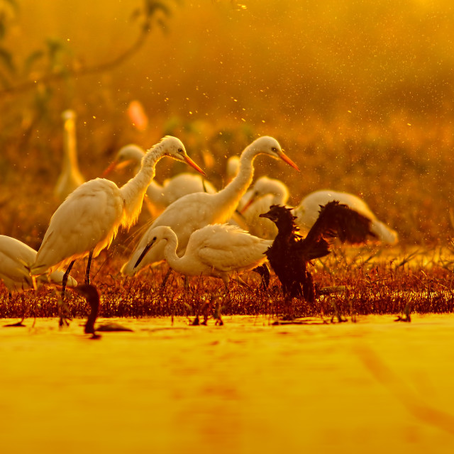 """Great Egrets hunting at sunrise Time"" stock image"