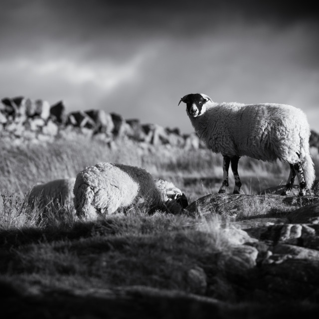 """""""Sheep on the Hilltop - black and white"""" stock image"""