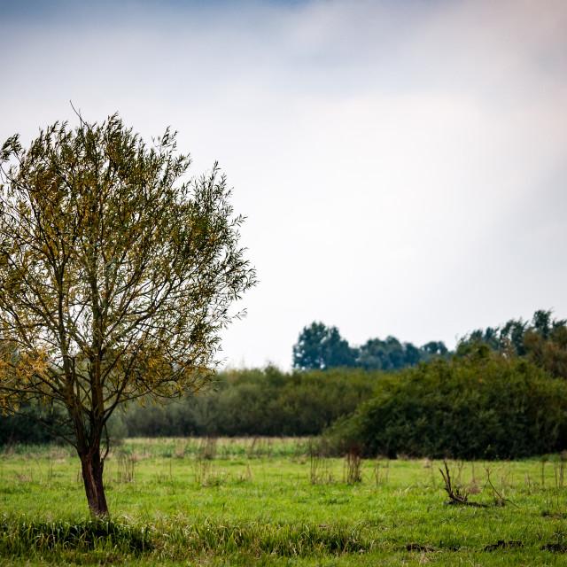 """Fenland willow"" stock image"