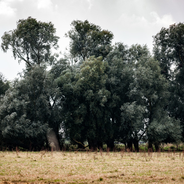 """""""Fenland willows"""" stock image"""