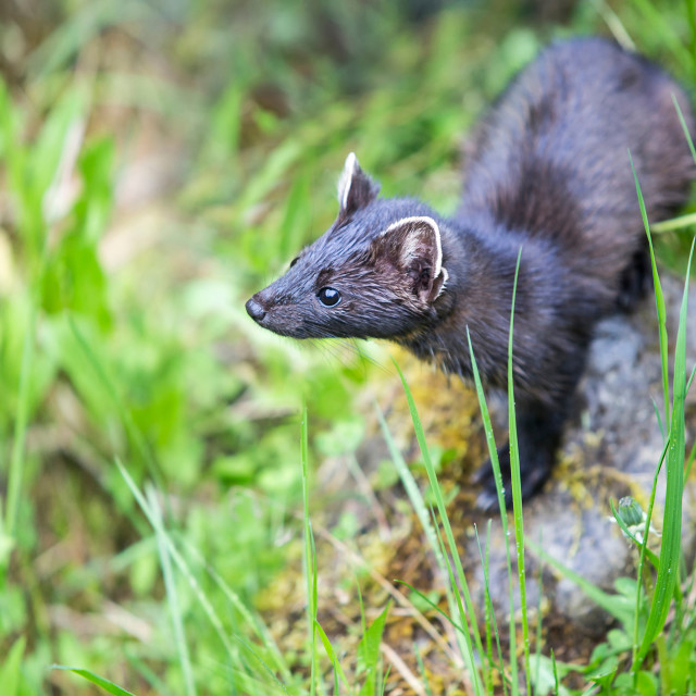"""Stoat Searching for Something in the Wild"" stock image"