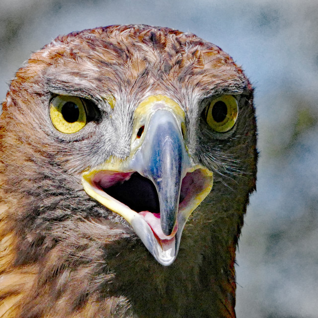 """Portrait of a Golden Eagle"" stock image"