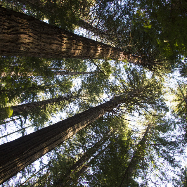 """Redwood Forest"" stock image"