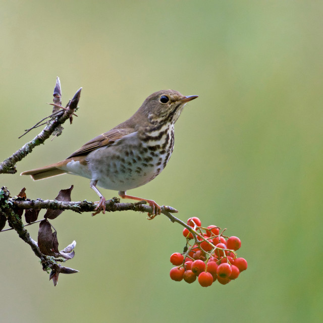 """Hermit Thrush and red berries in Vancouver's Stanley Park"" stock image"
