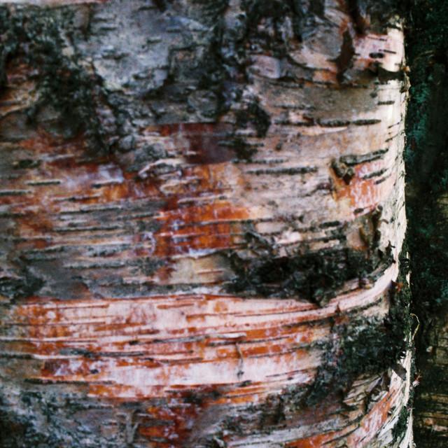 """Birch Tree Bark"" stock image"