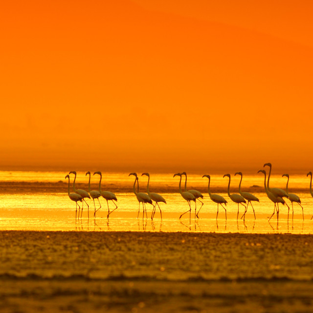 """Greater Flamingo ( Phoenicopterus roseus)"" stock image"