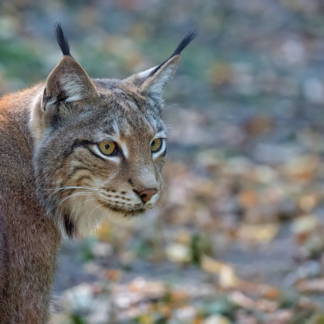 """""""Lynx in the forest, a portrait"""" stock image"""