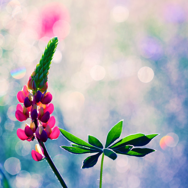 """""""Lupines durable (Lupinus polyphyllus)"""" stock image"""