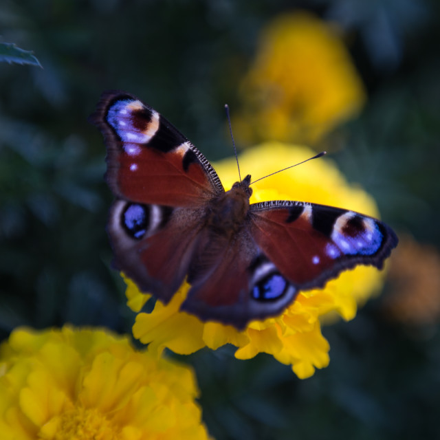 """""""European Peacock butterfly"""" stock image"""