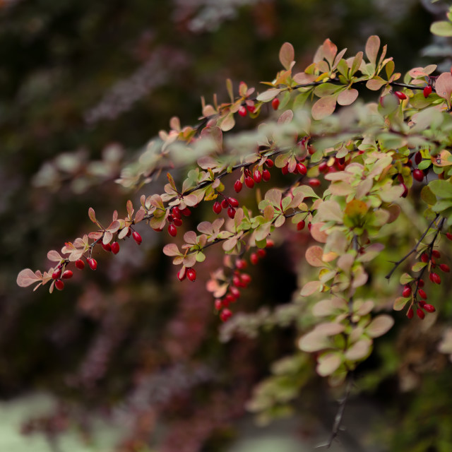 """Autumn barberry bush"" stock image"