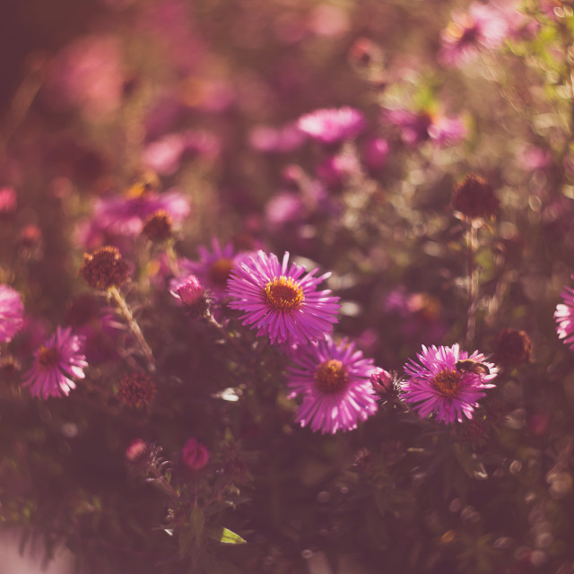 """""""Pink Aster flowers"""" stock image"""
