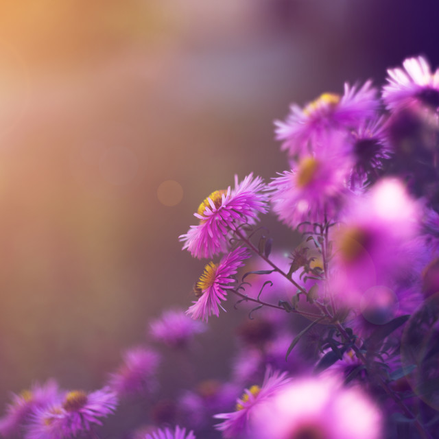 """""""Pink aster flowers in the sunshine"""" stock image"""