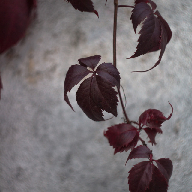 """Virginia creeper leaves"" stock image"