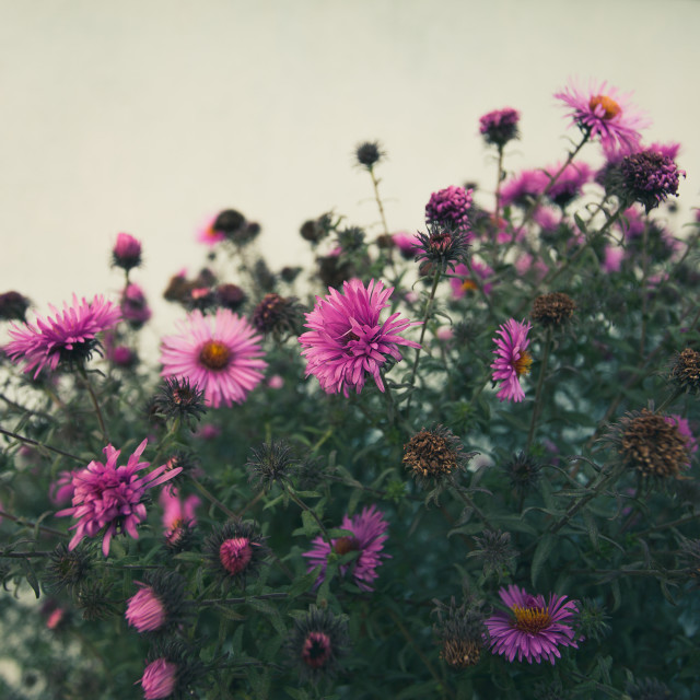 """Pink Chrysanthemum flowers"" stock image"