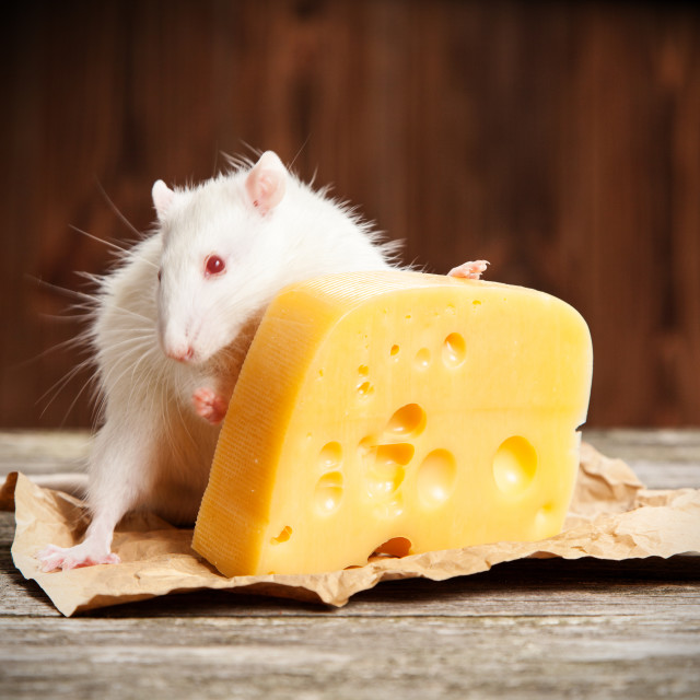 """""""Pet rat with a large piece of cheese"""" stock image"""