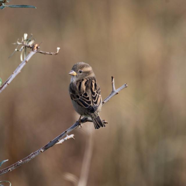 """Female Sparrow"" stock image"