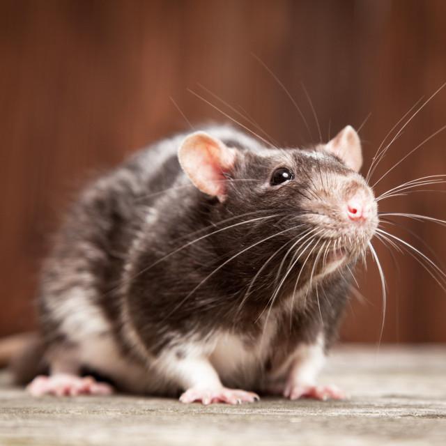"""Pet rat"" stock image"