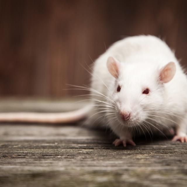 """""""Pet rat closeup"""" stock image"""