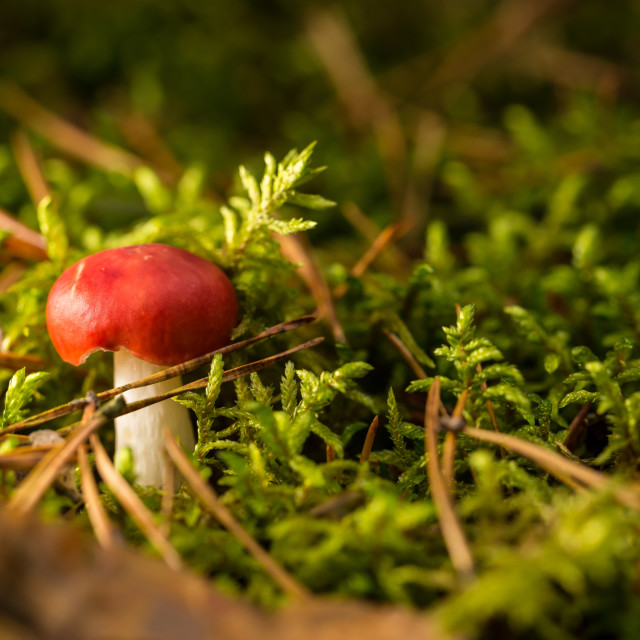 """""""Single small red mushoom in green moss"""" stock image"""