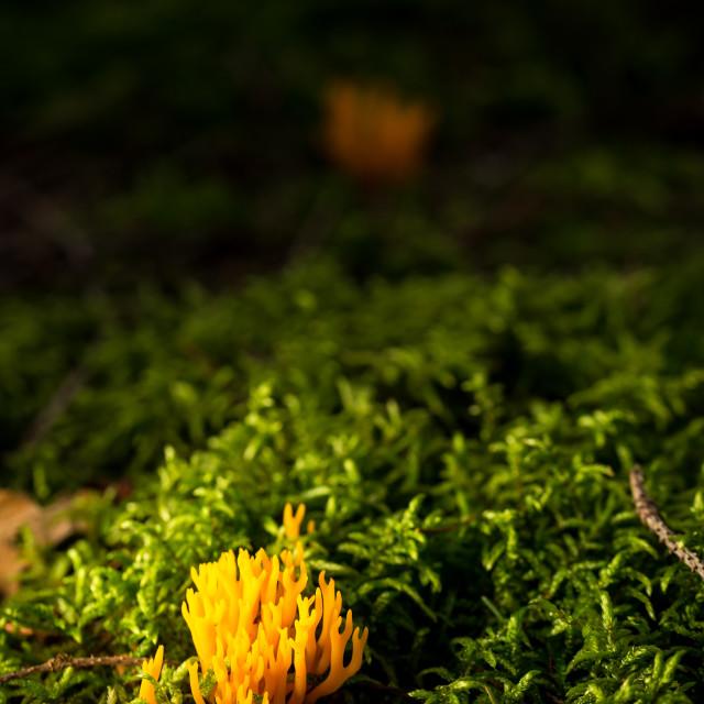 """Small fresh ramaria mushroom in green moss"" stock image"