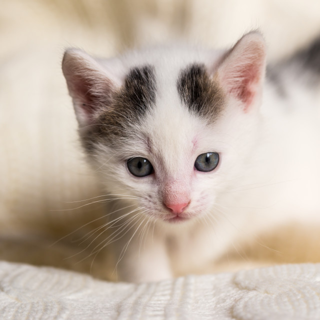 """""""White small kitten with two dark spots on head"""" stock image"""