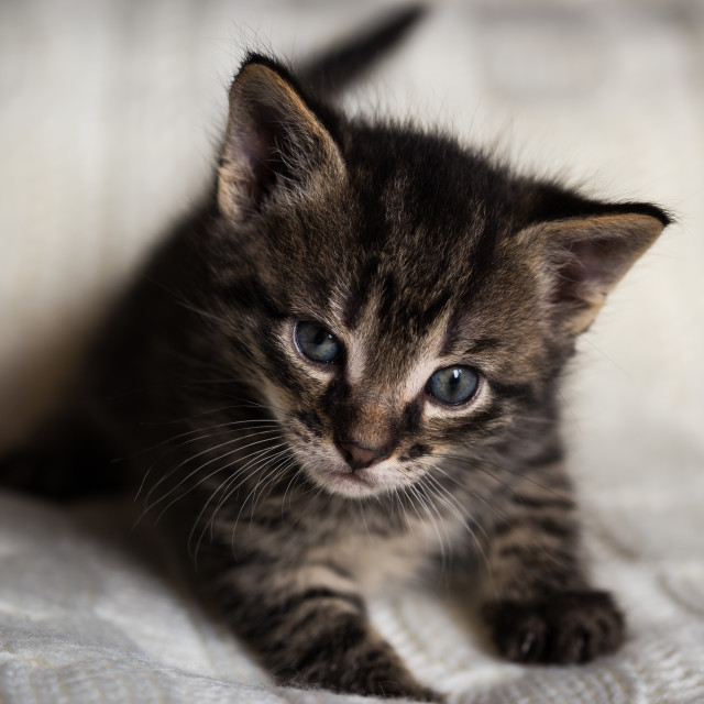 """Young tabby tomcat kitten looks into camera"" stock image"