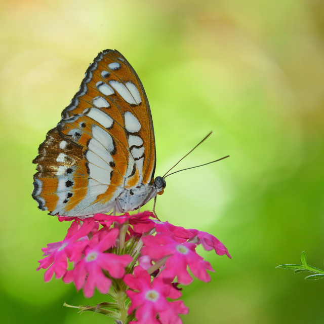 """Sweet Butterfly"" stock image"