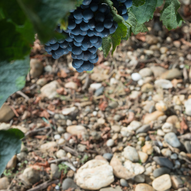 """""""Closeup on Fresh Grapes in Bordeaux vineyards"""" stock image"""